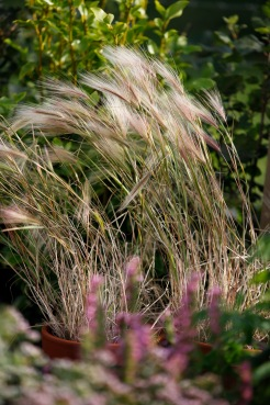 Squirrel tail grass