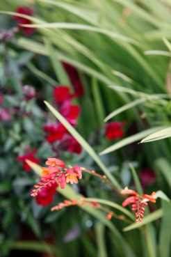 Crocosmia and antirrhinum