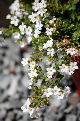 Bacopa snowtopia